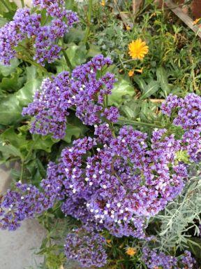 2 sea lavender