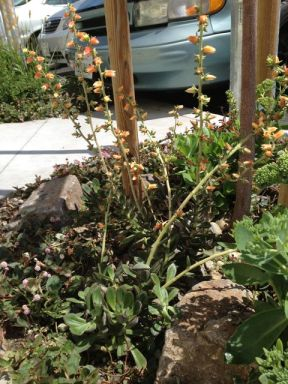 4 echevaria flower stalk