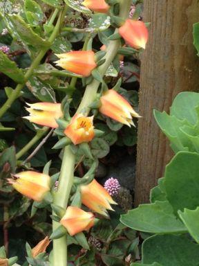 5 echevaria flower closeup