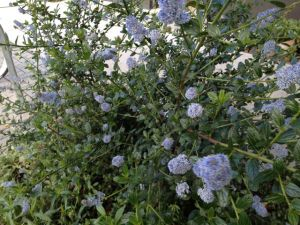 2 California wild lilac