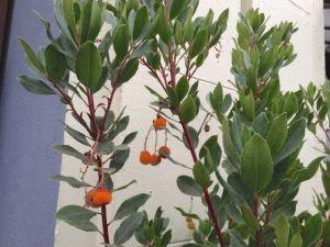2 Strawberry tree