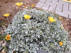3 African daisy