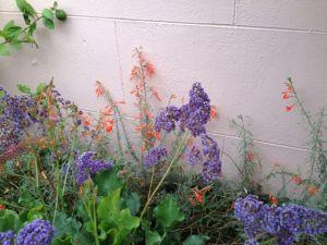 6 Sea Lavender