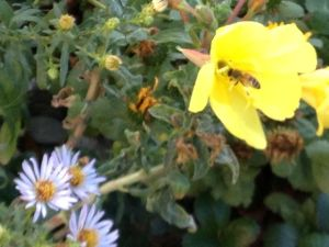 7 Hooker's evening primrose and CA aster