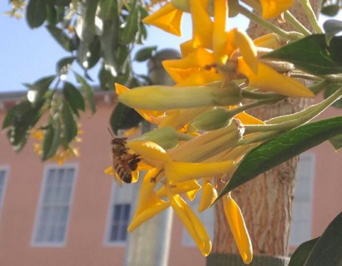Awkward but loveable sweetshade trees on florida street the ntrg blog if you walk down florida street in the spring you may notice the sweetly scented butter colored flowers on the street trees these trees are native to mightylinksfo