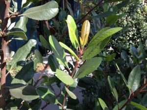Photo 2 toyon new growth