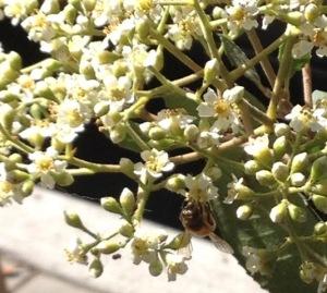 Photo 6 bee on toyon