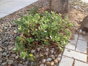 Photo 4 SF gumplant
